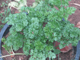 curly_parsley1